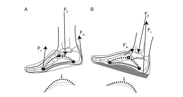 Adaptaciones fisiológicas del barefoot